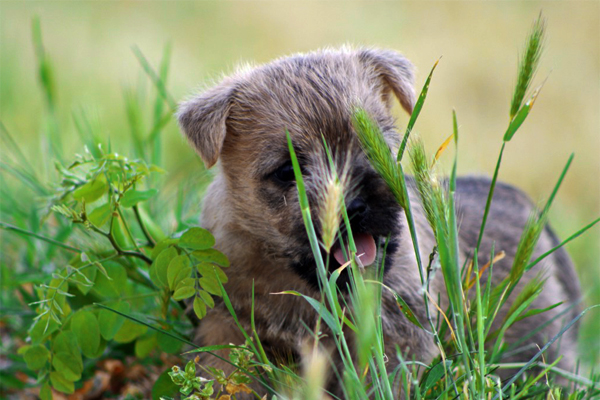 Grey Cairn Terrier Puppy image