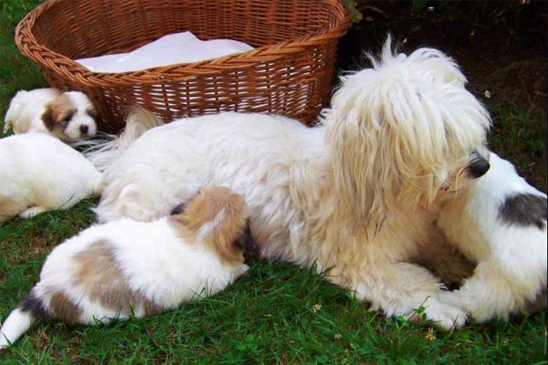 White with markings Coton de Tulear picture