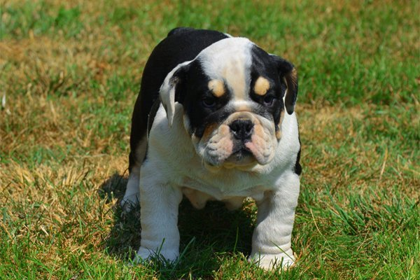 Tricolor English Bulldog Puppy picture