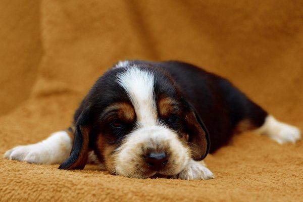 Tricolor Basset Hound Puppy image