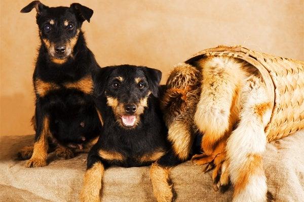 Jagd terrier image