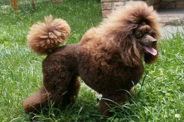 Chocolate Miniature Poodle picture