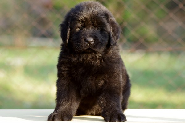 Black Newfoundland Puppy picture
