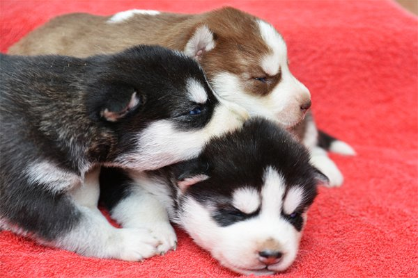 Siberian Husky Puppies picture