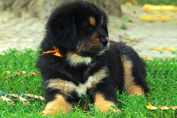 Black and Tan Tibetan Mastiff Puppy image