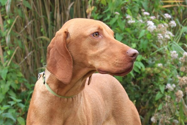 hungarian vizsla puppies breed information puppies for sale. Black Bedroom Furniture Sets. Home Design Ideas
