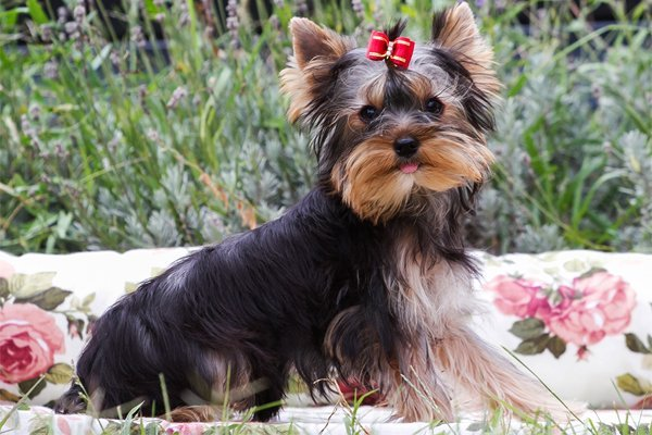 Black and Tan Yorkshire terrier picture