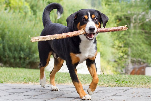 Tricolor Appenzeller Puppy picture