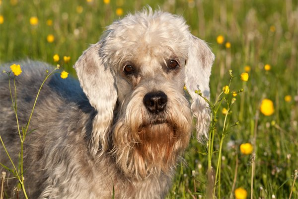Black and White Dandie Dinmont Terrier image