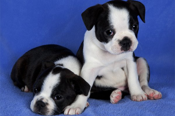 Boston Terrier Puppies picture