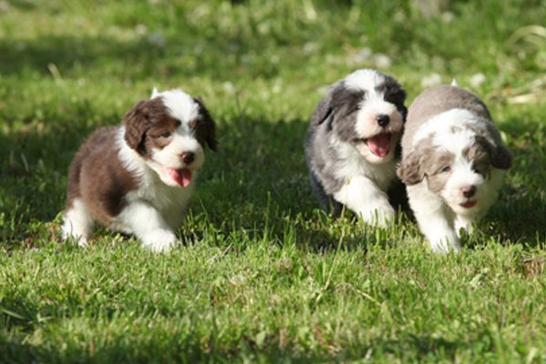 Black and White Bearded Collie Puppies picture