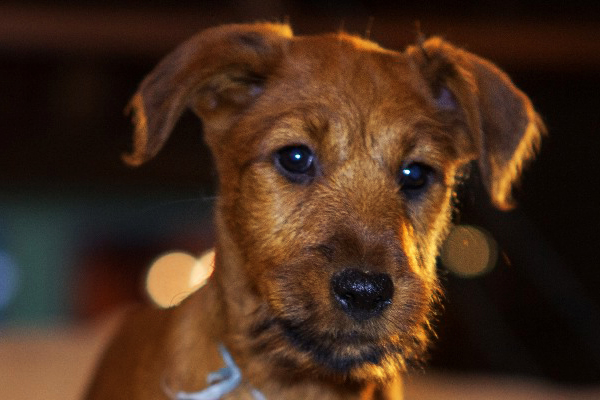 Red Irish terrier Puppy image