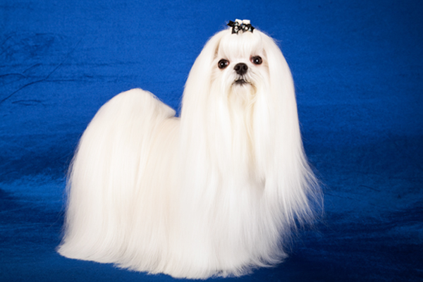 White Maltese picture