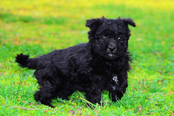 Black Pumi Puppy picture