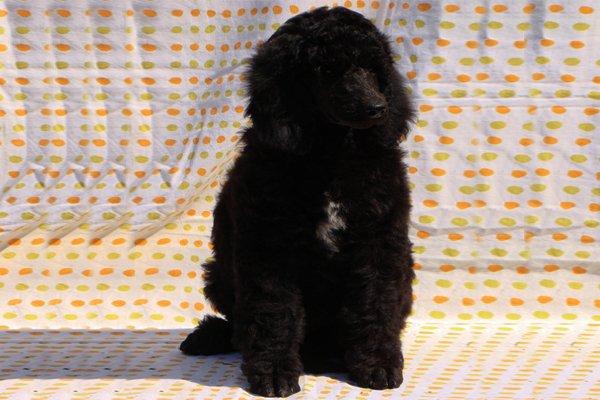 Black Standard Poodle Puppy image