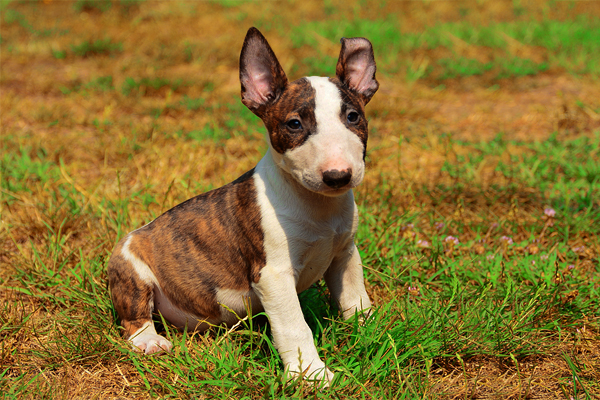 Red and White Bull Terrier Puppy picture