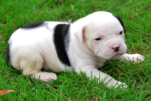 White with marking American Bulldog picture