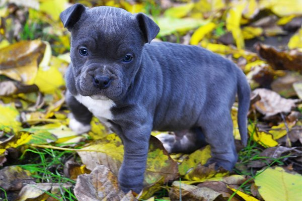 Black and White American Staffordshire Terrier Puppy picture