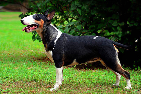 Tricolor Bull Terrier image
