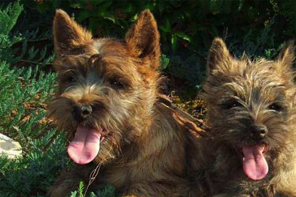 Red Cairn Terrier picture