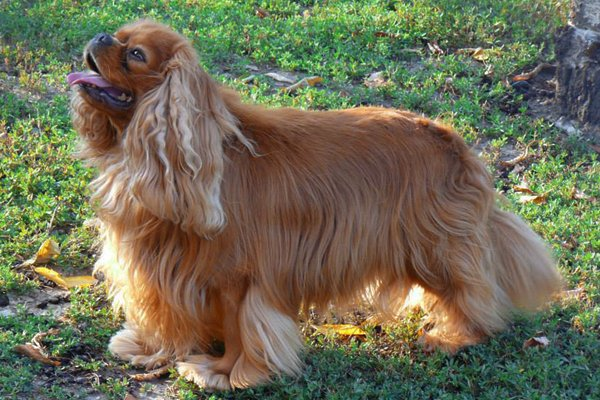 Ruby Cavalier King Charles picture