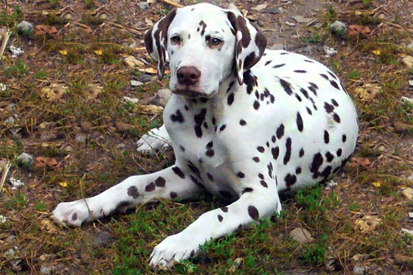Brown Markings Dalmatian picture