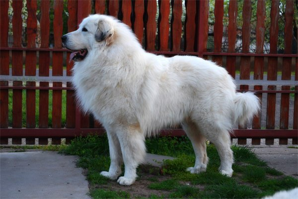 Black pied Great Pyrenees picture