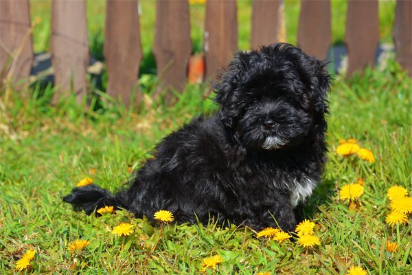 Black Havanese Puppy picture