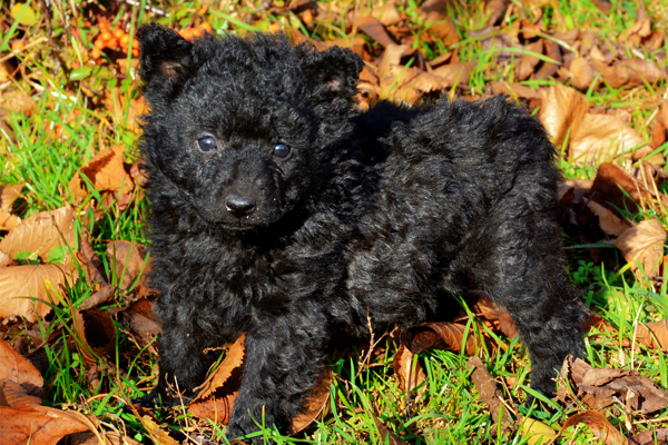 Black Mudi Puppy picture