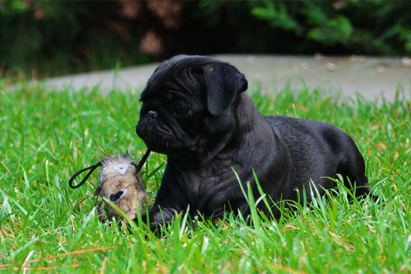 Black Pug Puppy image