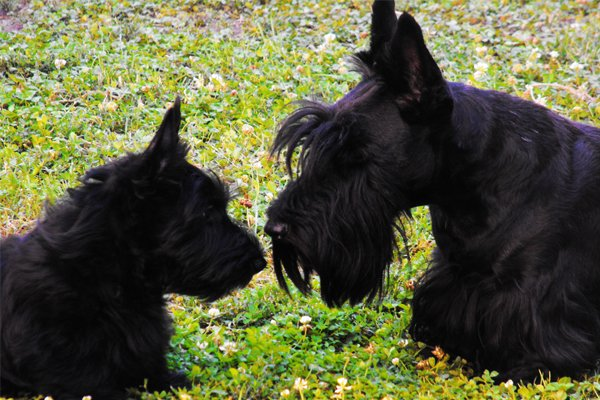 Black Scottish Terrier picture