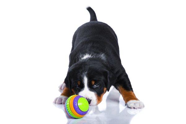 Tricolor Appenzeller Puppy image