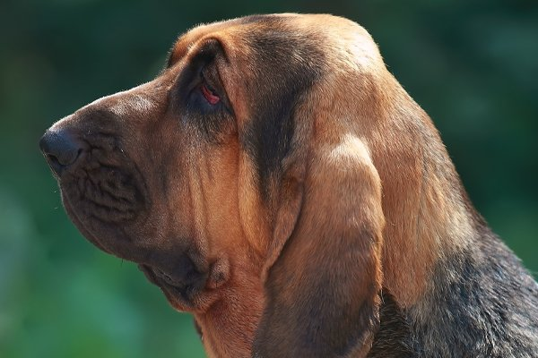 Black and Tan Bloodhound image