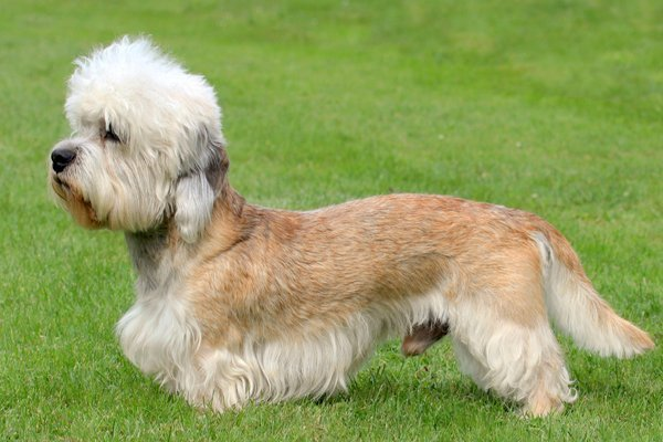 Red and White Dandie Dinmont Terrier picture