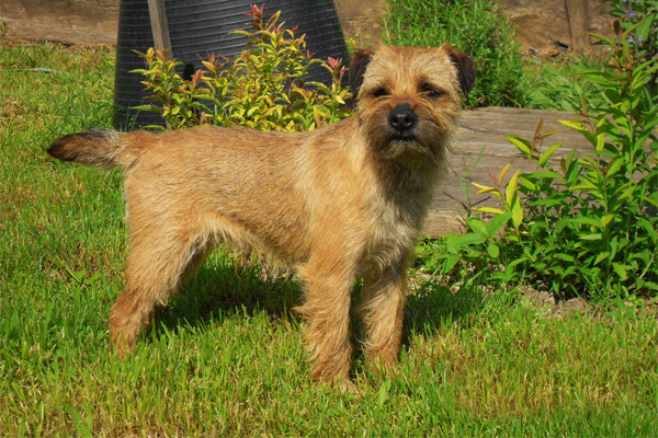Grizzle Border Terrier picture