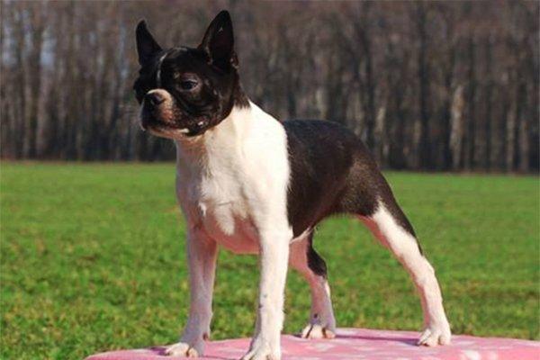 Boston Terrier picture