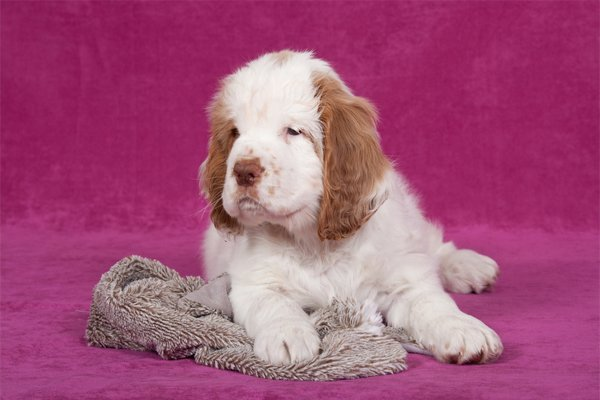 White with markings Clumber Spaniel Puppy picture