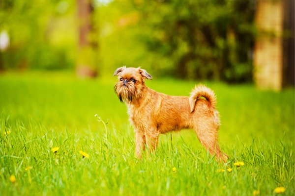 Red Brussels Griffon picture