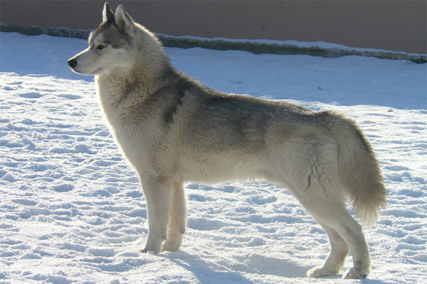 White with Silver markings Siberian Husky image