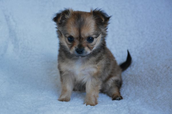 Grey Chihuahua Puppy image