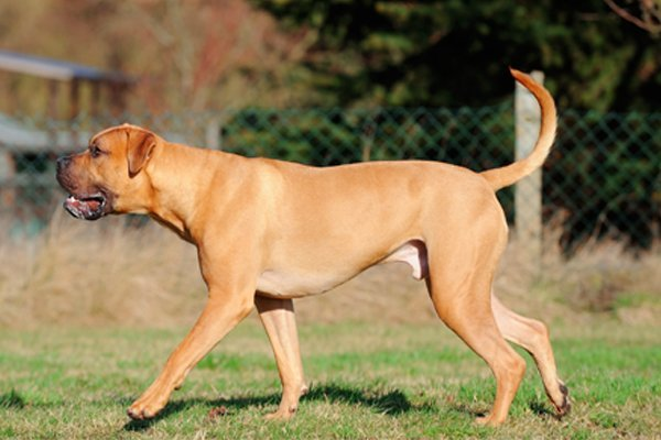Red Boerboel picture
