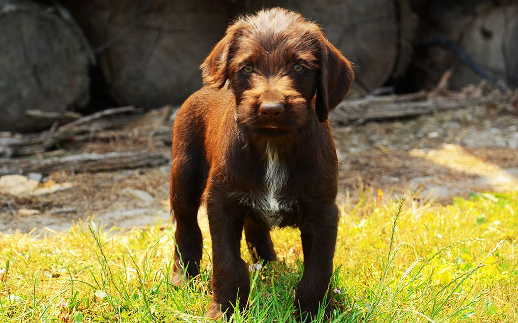 Chocolate German Wirehaired Pointer Puppy picture