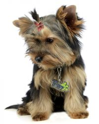 Yorkshire Terrier Black and Tan image