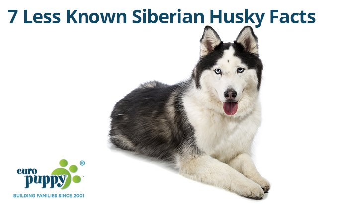 Less-Known-Siberian-Husky-Facts