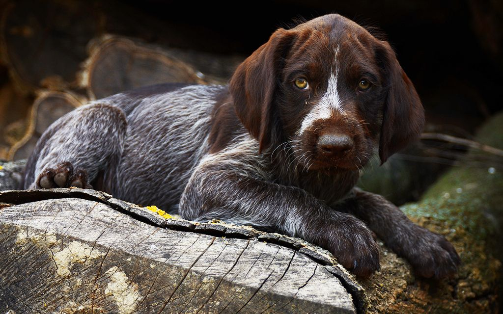 Spotted German Wirehaired Pointer Puppy picture