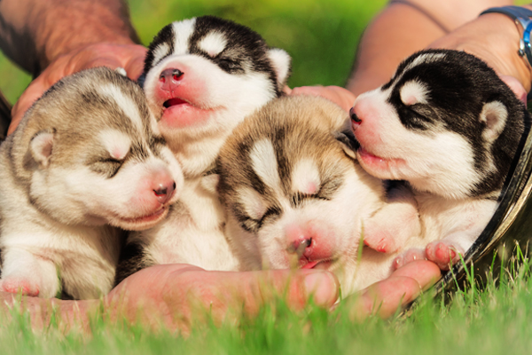White with silver/black Alaskan Malamute Puppies image