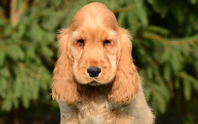 english cocker spaniel red image
