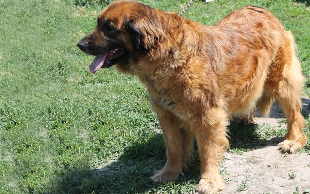 leonberger fawn image
