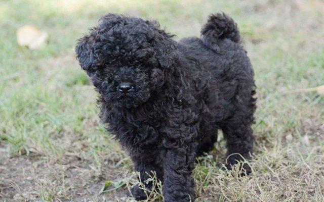 puli black puppy image