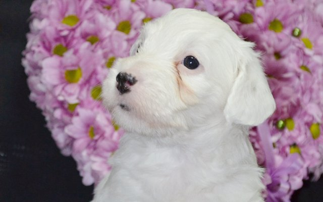 sealyham terrier white puppy image